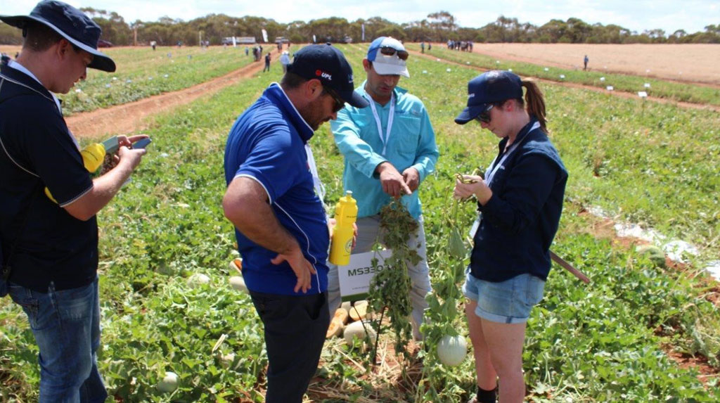 Rakesh demonstrating Cotton Aphid resistance between CLAUDIA (on the right) and a susceptible variety (left).