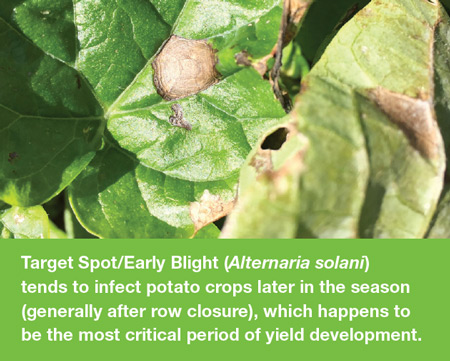 Target spot early blight in potatoes