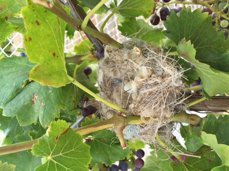 Bird nest in vines