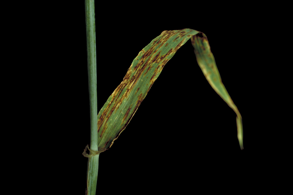 Net blotch causes leaf death, poor grain development and increased screenings.