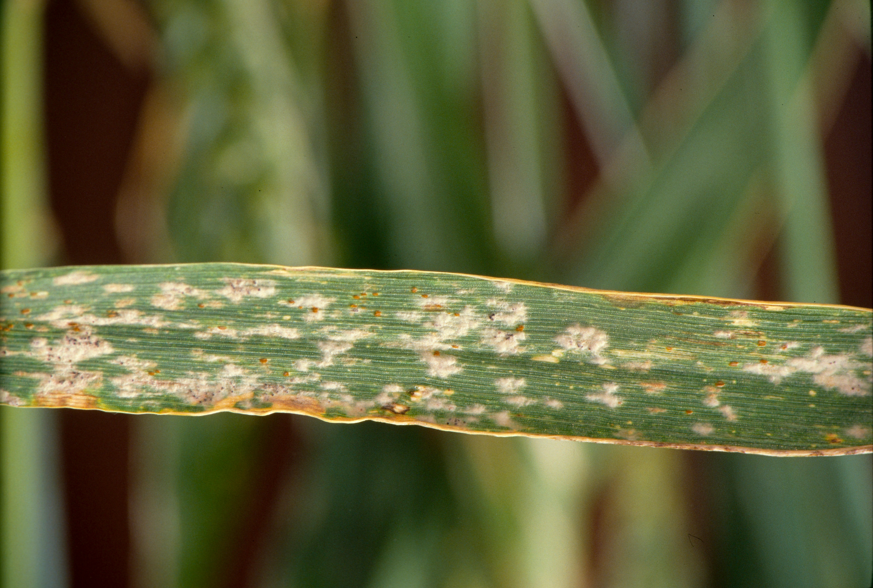 Powdery Mildew causes major yield losses in barley if infection occurs early in the season.