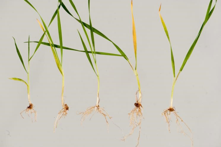 Image 2 Wheat seedlings with rhizoctonia root rot expressed as spear-tipped roots.
