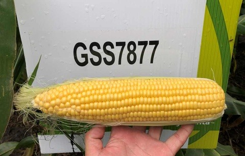 Syngenta sweet corn variet GSS7877, pictured in Stanton, Minesota