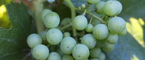 Miravis® is a powerful new product for the control of Powdery Mildew in grape and wine production.