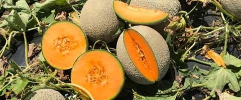 The Syngenta rockmelon variety Claudia™