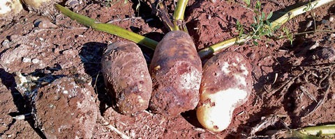 Potatoes pint rot