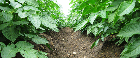Syngenta and Yara talk potato plant health through crop protection and fertiliser.