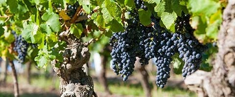 Syngenta brings TIMOREX GOLD to the market for late season use in grapes.