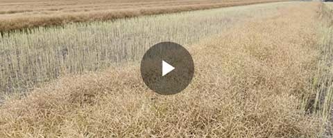 Agronomists share their positive experiences of SALTRO­® DUO at Lake Bolac, finding excellent control of blackleg in canola.