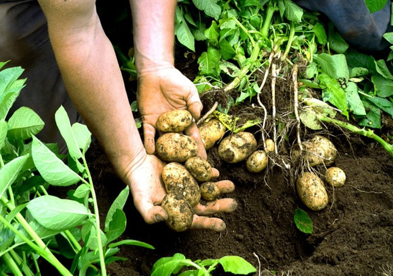 Potatoes Disease Management