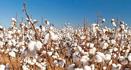 Cotton crop