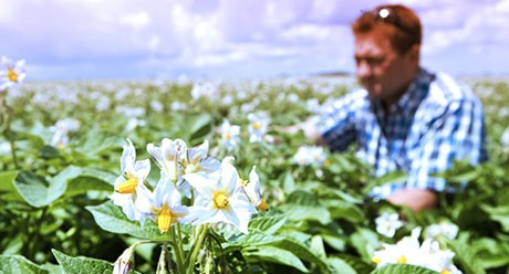 Man in potato crop field, flowering