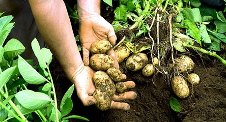 Potatoes out of the soil
