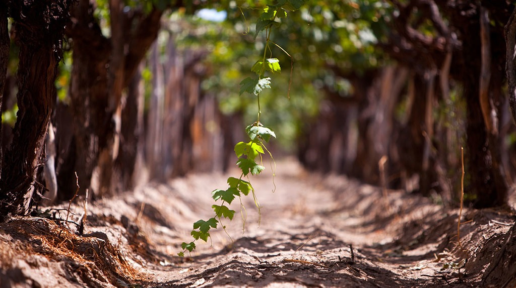 grapes hanging down towards the ground
