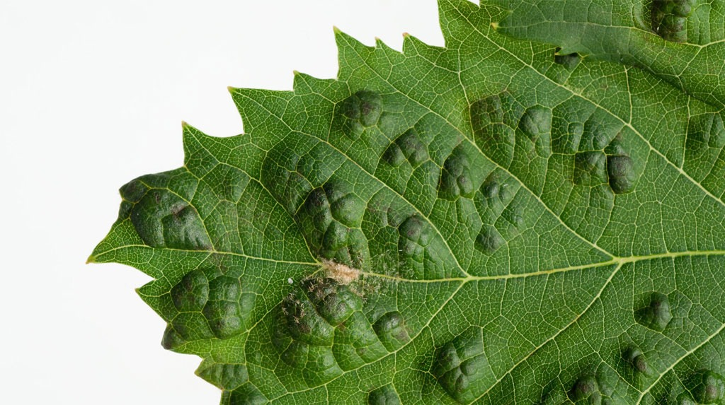Blisters on a grape leaf caused by a blister mite. Photo source: DAFWA.
