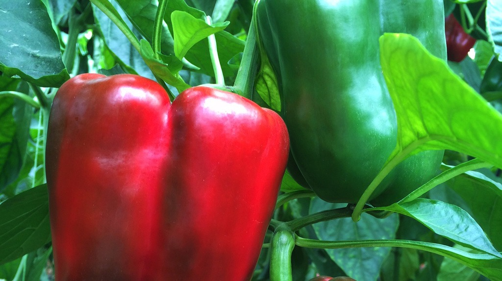 A new capsicum variety will hit the Australian market later this year – a hybrid breed that is resistant to a highly infectious virus affecting other varieties. Aptly named Bloodshot thanks to its deep red colour.