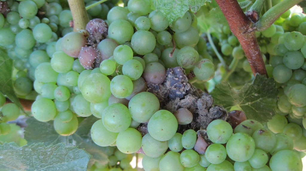 grapes with botrytis