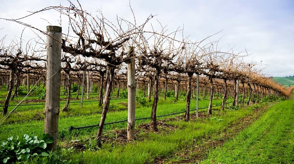 Make sure your spring clean in the vineyard is effective – find out how to use a herbicide double-knock to beat weed resistance