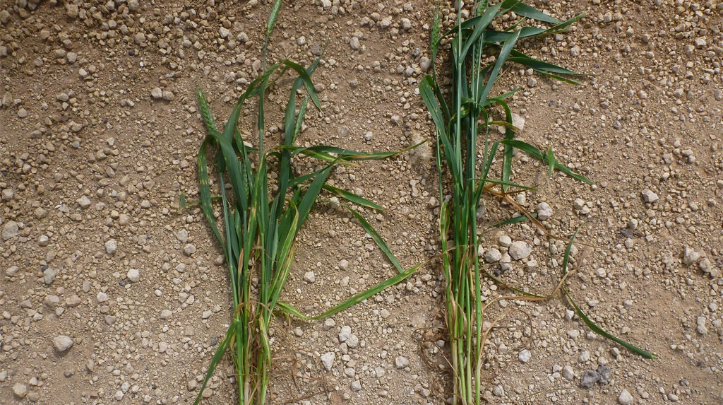 The results showed that the trial barley crop was shortened by around six inches, with an increased yield of over half a tonne according to Mr Broun.