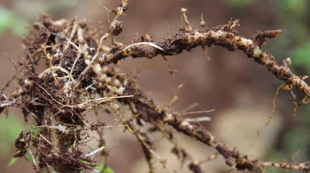 Learn how to identify if you have a nematode issue