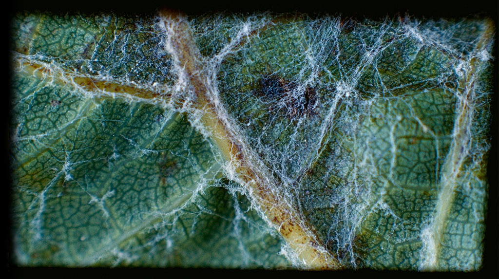 Powdery Mildew close up