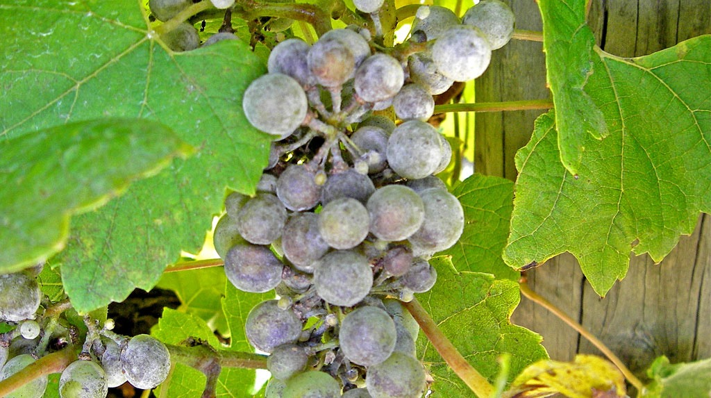 Powdery Mildew in grapes