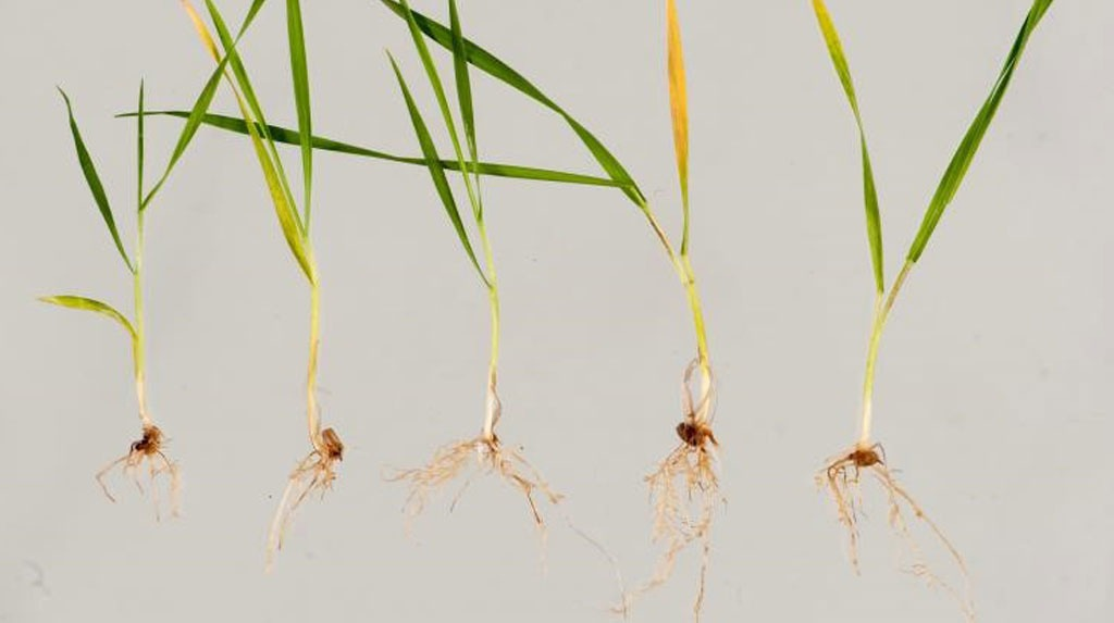 Wheat seedlings with rhizoctonia root rot expressed as spear-tipped roots.