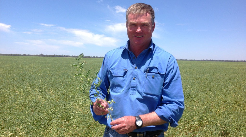 Tony Taylor inspecting his chickpea crop for insects.
