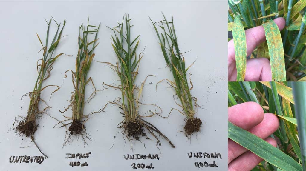 Agronomist, Tom McInerney, says barley leaf rust and spot type net blotch are having a strong impact on barley yields, especially on the more disease prone cereal-on-cereal paddocks.