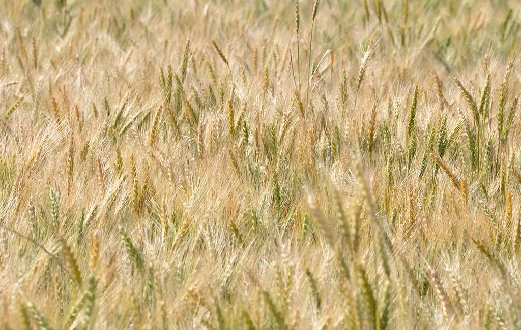 VIRBRANCE® from Syngenta now has a registration for crown rot suppression.