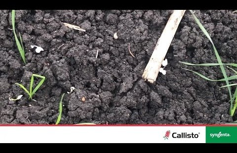 Broadleaf weed observations from CALLISTO trial at Tosari