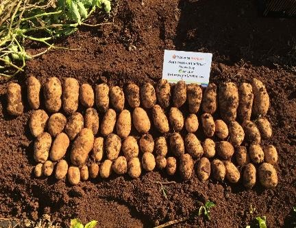 Vibrance® and Amistar® delivering better potato yields.